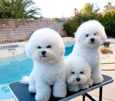 BelAmour Bichons Frise Puppies Nevada