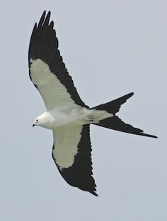 Swallow-tailed Kite - A strikingly marked raptor of wetlands in the southeastern United States, the Swallow-tailed Kite captures flying insects or plucks insects and lizards from the tops of trees.