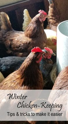 Winter Chicken-Keeping, Tips and Tricks to Make it Easier Cheap Chicken Coops, Portable Chicken Coop, Best Chicken Coop, Chicken Coop Plans, Building A Chicken Coop, Best Egg Laying Chickens, Raising Backyard Chickens, Keeping Chickens, Baby Chickens