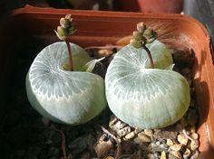 https://flic.kr/p/rtJ6ga   Bulbine mesembryanthemoides