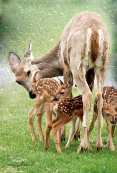 A doe with their three babes....Fawns....