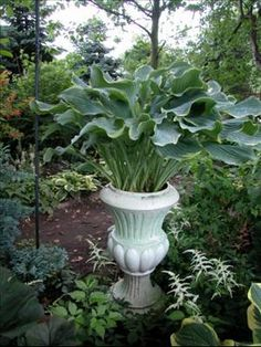 Container of Hosta 'Regal Splendor'  Hosta 'Regal Splendor' looks elegant in this tall urn because of its graceful upright vase-shaped habit.  It serves as a focal point in this shade garden.