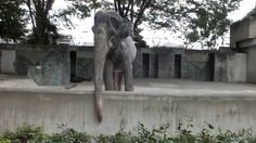 Hanako, Known as the World's Saddest Elephant, Dies After 60 Years of Lonely Captivity - Blooper News - Hot Trending Topics Now List Of Animals, Animal Rights, Lonely, Vancouver, Sad, World, Campaign, Trending Topics, Elephants