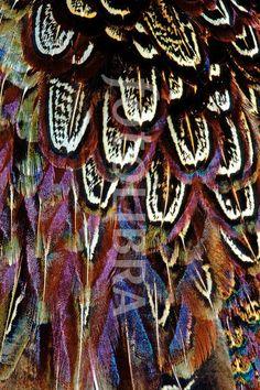 pheasant beautiful feathers