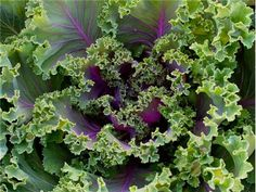Ornamental Fringed Mix Kale | Baker Creek Heirloom Seed Co