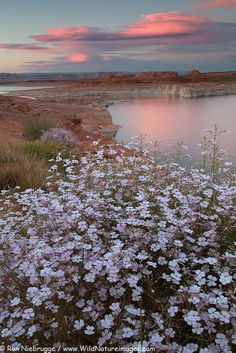 Wildflowers bloom along the shores of Lake Powell, Glen Canyon National Recreation Area, Page, Arizona