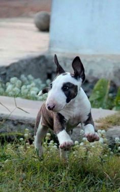 once u love a bull terrier - no other dog is quite as cute ever again -