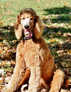 Gander, Standard Poodle, November 2014 CKC Photo Contest