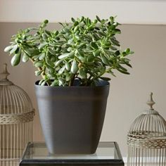 un ficus en pleine forme dans un appartement pot papyrus r serve d 39 eau po tic plantes en. Black Bedroom Furniture Sets. Home Design Ideas