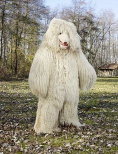 The Kurenti and Medved (Bear) appear during Shrovetide in Slovenia. The bear is specific to the Ptuj plain. It goes from house to house, acc...