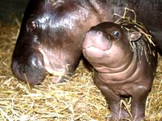Bouncing Baby Hippo Is Ready to Meet the Public in Portugal  See more photos and learn more at ZooBorns:  http://www.zooborns.com/zooborns/2014/06/bouncing-baby-hippo-is-ready-to-meet-the-public-in-portugal.html