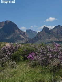 Sage in bloom with the Chisos Mountains in the background. Big Bend National…