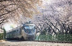 "A train passing through cherry blossoms in Japan.  —via ""ツ Amazing Facts & Nature ツ"" on Facebook"
