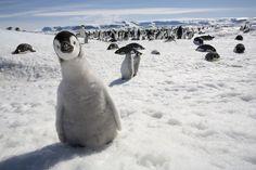 Paul Souders' Wildlife Adventures - adorable penguins!
