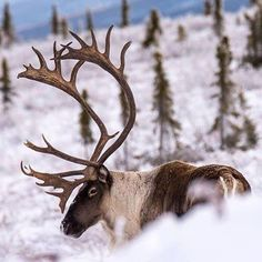 Thanks Travel Yukon for posting this photograph of a member of the Forty Mile caribou herd. The original post said the herd began returning to their wintering grounds near Dawson in 2002.