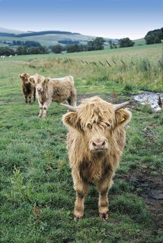 Hairy Coos during a Scotland tour with Contiki. #noregrets #contiki #animals #cute