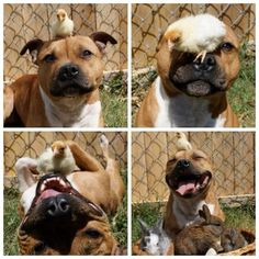 Pitbull with feathered and furry friends... adorable!