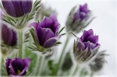 Beautiful close-up of Pulsatilla Vulgaris (Pasque Flower). Image used under a Creative Commons licence with the kind permission of CathyMcCray and Flickr