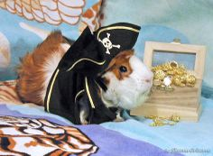IT'S COSEY THE PIRATE!  Guinea pig costume made by Terry Smoker and available on her website: http://cuddlycavies.homestead.com