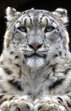 Well hello there wise snow leopard who sees so much from the mountain-tops