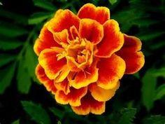 marigold tattoo-October flower mom and Gma bobbi