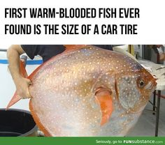 Warm-blooded fish with a size of a car tire? WTF?