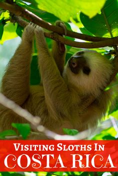 The Jaguar Rescue Center in Puerto Viejo, Costa Rica is the perfect place to visit sloths up close in an ethical, animal-centered way!