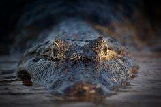 Caiman from Brazil/Pantanal