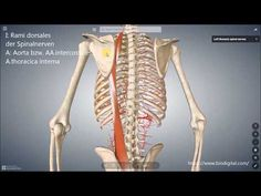 Autochthone Rückenmuskulatur (lateraler Trakt) - YouTube