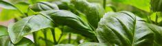 How to Grow Basil by howtogrowbasil.com #Basil #Garden #howtogrowbasil