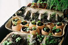Seedlings in egg shells and egg cartons.