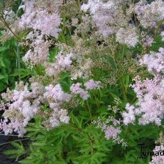"Filipendula purpurea ""Nephele"""