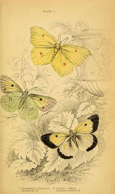 1749-1817 Butterflies