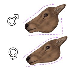 How to Draw Animals: Deer – Species and Anatomy: heads