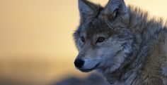 """Help Stop the Wolf Carnage in Idaho.Along with this petition are several other petitions on behalf of red wolves, gray wolves, the Mexican wolf, wolverines, blue whales, sperm whales, sharks (against finning) and dolphins... Please please take the time to sign each... it is easy and convenient, all you have to do is check """"sign the petition"""" after you have entered the info on the first petition you sign.  Thank you!"""