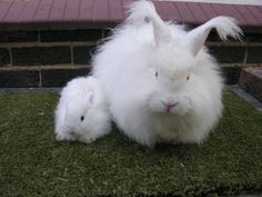 The English Angora Rabbit