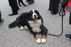 The happy Bernese Mountain dog again. | by ironypoisoning