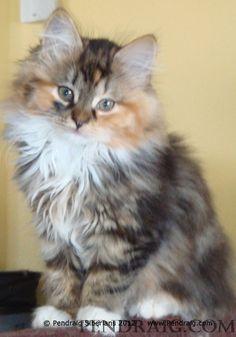 Siberian Cats * TICA & CFA Registered, Healthy, Family Pets * Pendraig