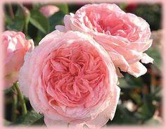 'Liv Tyler' aka 'Comtesse de Provence' Hybrid Tea - ARS 8.0