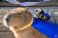 Capybara is King of no fucks given