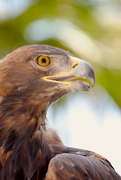 Golden Eagles are known for their remarkable eyesight and can spot a rabbit from more than a mile away. Credit: Henry McCarthy
