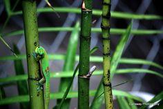 Cammo Madagascar Gecko