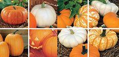 30 eachSpooky Mix Pumpkin Seeds 100 Seeds By Jays Seeds 64345129... https://www.amazon.com/dp/B01E7UQTYY/ref=cm_sw_r_pi_dp_x_QLZ3yb307VAA7