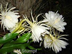 Dama da Noite (Epiphyllum Oxipetalum) - FazFácil