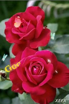 Beautiful Flowers Wallpapers, Beautiful Rose Flowers, Pretty Roses, Flowers Nature, Exotic Flowers, Amazing Flowers, Pretty Flowers, Red Flowers, Red Rose Flower