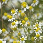 Rumianek pospolity Plants, Flora, Planters