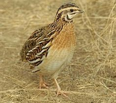 Quail Farming. Facts about the birds and how to raise them.