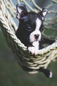 Baby BT in the Hammock! https://www.facebook.com/bterrierdogs