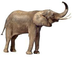 Trumpeting Elephant I
