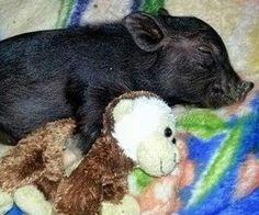 Cute piggy
